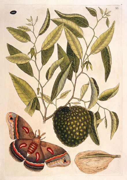Catesby, Mark: Carolina Moth with Fruit Resembling Custard Apple. Fine Art Print/Poster (4750)